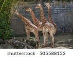 Kordofan Giraffe  Giraffa...
