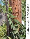 Vine Climbing A Telephone Pole...