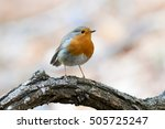 Beautiful European Robin...