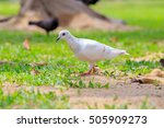 Beautiful White Pigeon Is...