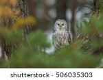 Ural Owl In The Autumn Colors