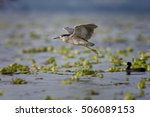 Black Crowned Night Heron  Lat...