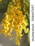 Small photo of Mimosa or Acacia dealbata yellow flower