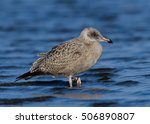 Small photo of Juvenile American Herring Gull