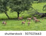 herd of mother elk with spotted ...   Shutterstock . vector #507025663