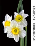 Beautiful Springtime Narcissus...