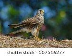 common kestrel or eurasian...   Shutterstock . vector #507516277