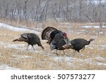 Wild Turkeys Displaying In The...