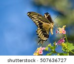 Stock photo the giant swallowtail papilio cresphontes butterfly feeding on lantana flowers blue sky 507636727