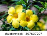 Small photo of yellow allamanda flowers