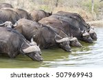 african buffalo at kruger... | Shutterstock . vector #507969943