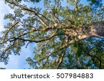 Giant Yellowwood Tree In...
