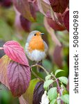 A Cute European Robin Sits In ...