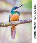 Small photo of rufus tailed jacamar