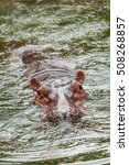 Hippos Are A Big Dive In Warme...