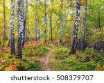 autumn in the birch forest.   Shutterstock . vector #508379707