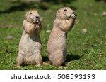 Black-tailed prairie dog (Cynomys ludovicianus). Wildlife animal.