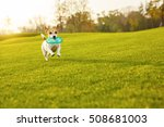 Stock photo crazy happy small pet running with toy in the mouth aport command making 508681003