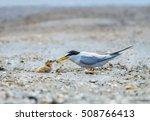 a little tern or sternula... | Shutterstock . vector #508766413