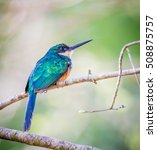 Small photo of rofous tailed jacamar.looking right
