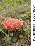 Small photo of Wonderful amanita in the forest