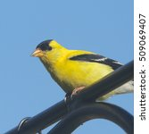 Small photo of American Goldfinch (male)
