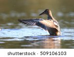 wild ducks on the lake  anas... | Shutterstock . vector #509106103