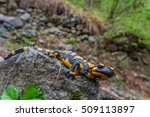 Fire Salamander In Its Natural...