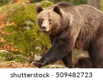 Brown Bear Is Walking Very...