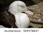 Small photo of this is a close up of a radjah shelduck