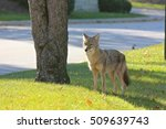Coyote Standing Near A Street...