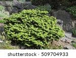 Small photo of Abies balsamea 'Nana'