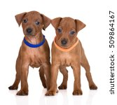 Small photo of two red pinscher puppies posing on white