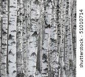 Birch Tree Forest  Large Aspen...