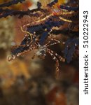 Small photo of Spider crab (Achaeus spinosus)