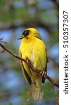 Small photo of Southern masked weaver (Male)