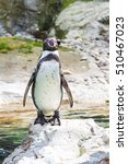 The Humboldt Penguin Or...