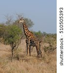 reticulated giraffe on the... | Shutterstock . vector #510505393