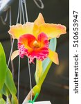 Red   Orange   Yellow Orchid...