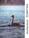 Whooper Swan  Cygnus Cygnus  ...