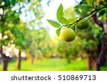 orange fruit on branch with the ... | Shutterstock . vector #510869713