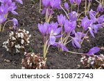 Small photo of Delicate pink flowers of autumn crocus (colchicum autumnale Nancy Lindsay), beautiful fall plant containing toxic alkaloid colchicine with roots and seeds useful for traditional medicine