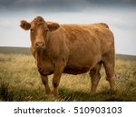 South Devon Cow  Dartmoor  Devon