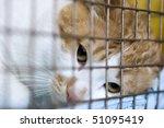 Sad Red Cat Breeds Bobtail In ...