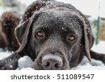 Black Labrador In The Snow