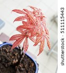 Small photo of Acer palmatum in close up with red leaves, vertical image