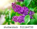 Purple Lilac Bush Blooming In...