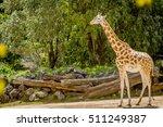Giraffe Zebra Ostrich A Wildlife - Fine Art prints