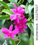 Small photo of Laelia pumila x Sophronitis brevipedunculata, orchid. Brazil