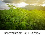 Marijuana In Morning Light Fro...